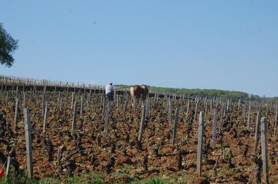 In fundal La Romanee era pregatita (in sistem bio) pentru o noua recolta de legenda...
